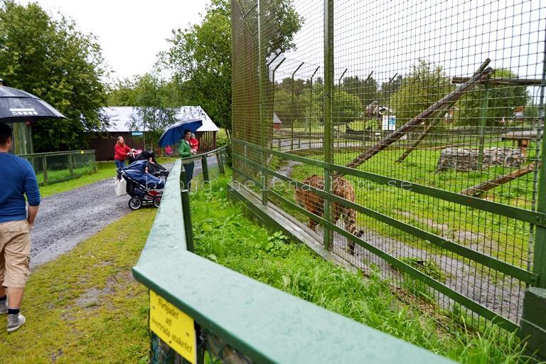 Det regnade när vi tittade på tigrarna och lejonen