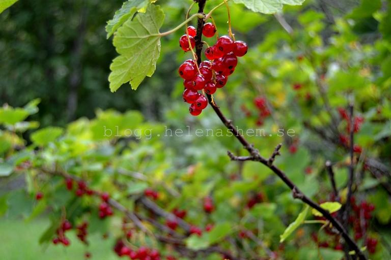 Rödvinbär