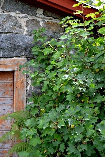 Vitvinbär utanför jordkällaren