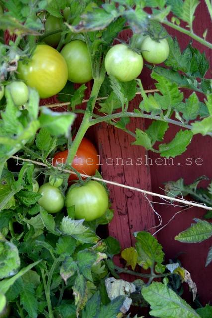 Tomaterna älskade värmen sommaren 2013