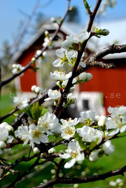 Våra plommonträd blommar helt ljuvligt