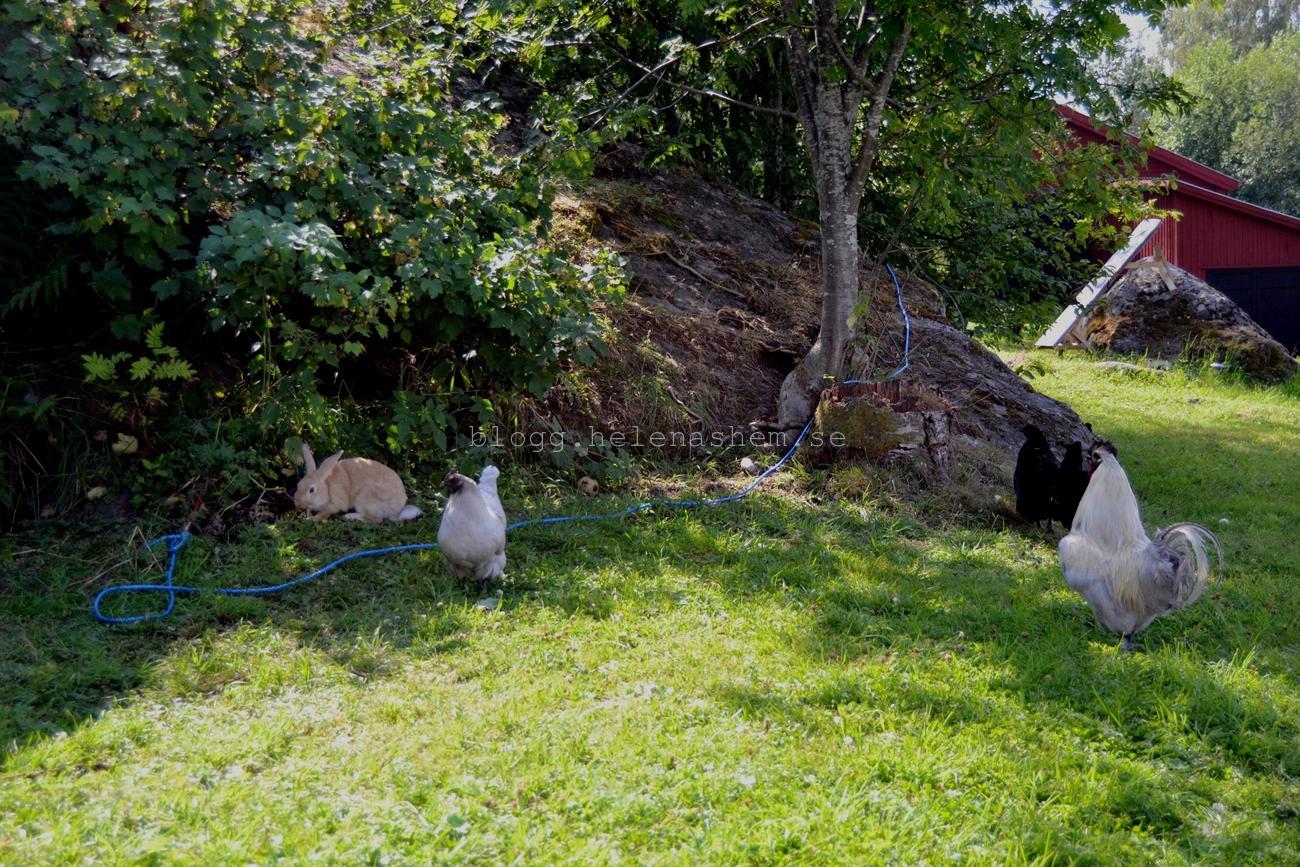 Hönsen är nyfikna på kaninen, men lite rädda. Knut är inte ett dugg rädd.