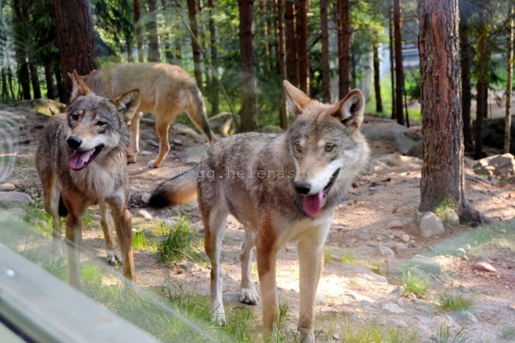 ...och vargarna kom nära! :)