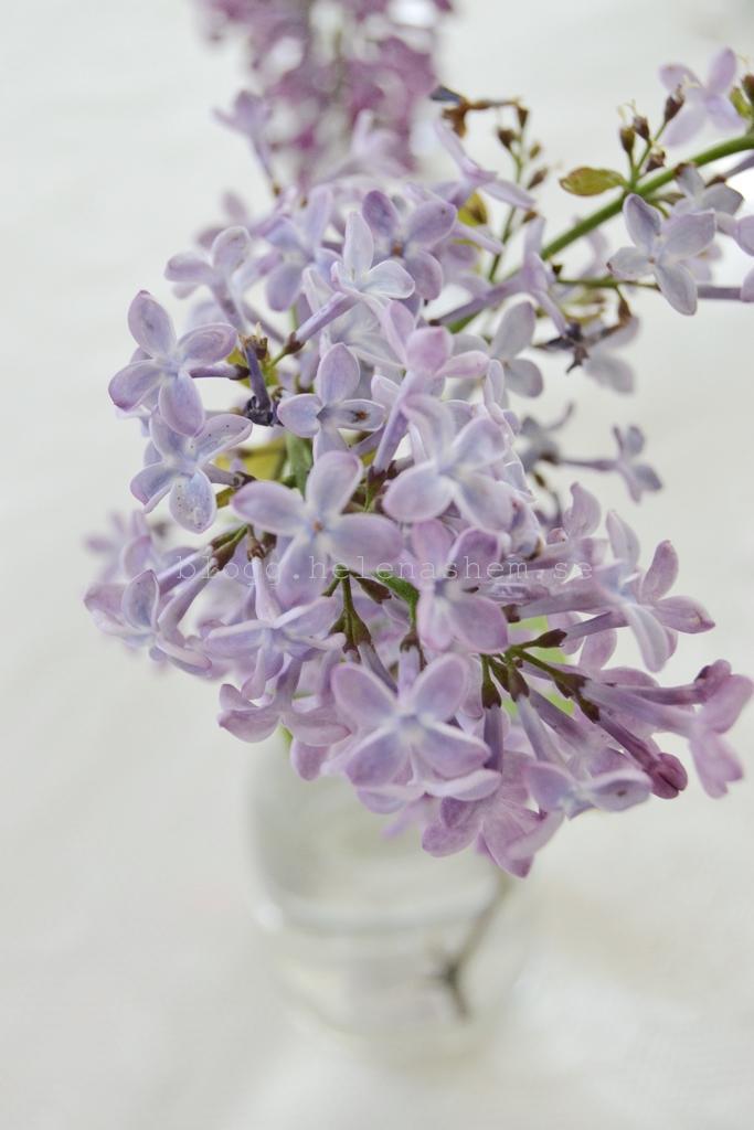 Underbara syrenerna blommar sent iår