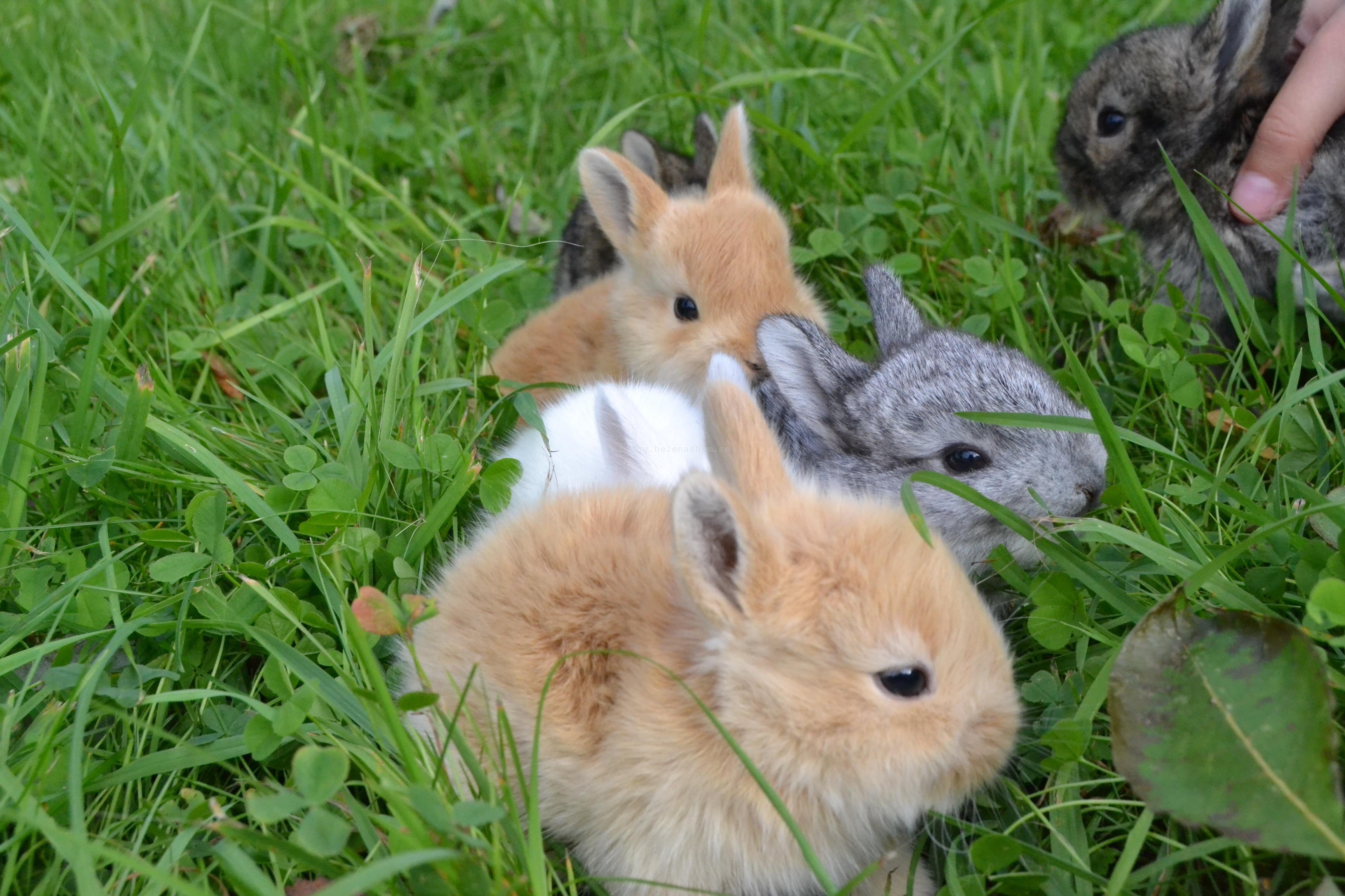 kaninungar