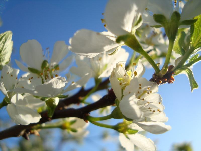Vårt plommonträd blommar så fint!